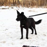 В добрые руки, собака, окрас черный