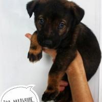 В добрые руки, щенок, окрас черно-коричневый с белыми пятнами