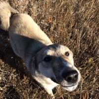 Пропал пес, порода западно-сибирская лайка, окрас светлый