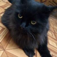 В добрые руки, кот, окрас черный, пушистый