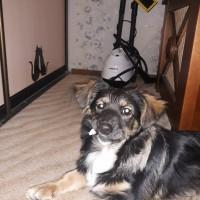 Найдена собака, окрас трехцветный