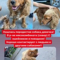 Найдена собака, окрас коричневый с белым