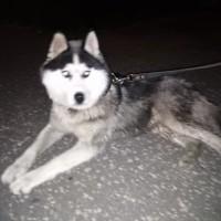 Найдена собака, порода хаски