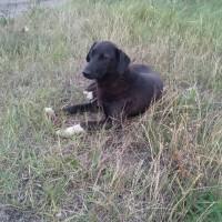 Пропала собака, окрас черный, беый живот и лапы