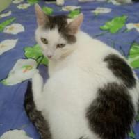 В добрые руки, кошка, окрас белый с черными пятнами