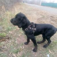 Пропал пёс, порода русский спаниель, окрас черный с белой грудкой