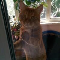 Потерялся кот, окрас рыжий
