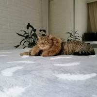 Пропал кот, окрас полосатый, шоколадного цвета