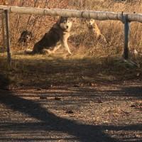 Найден пёс, порода хаски