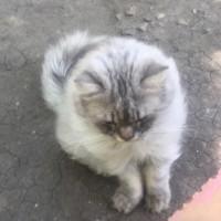 В добрые руки, кот, окрас серый