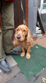 Найдена собака, порода спаниель, окрас рыжий