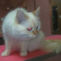 В добрые руки, котик, окрас белый с рыжим