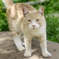 В добрые руки, кот, окрас персиково-белый