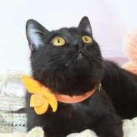 В добрые руки, кошка, окрас черный
