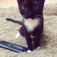 Пропала кошка, окрас черный, белая грудка и лапы