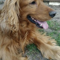 Пропала собака, окрас рыжий, порода кокер-спаниэль