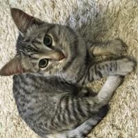 Найден котенок, окрас серый, полосатый