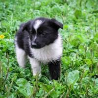 В добрые руки, собачка, окрас чёрно-белый
