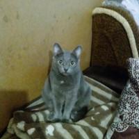 Пропала кошка, окрас дымчатый
