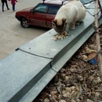 Найдена кошка, окрас сиамский