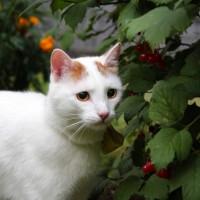 В добрые руки, кот, окрас белый с рыжими пятнами