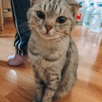 В добрые руки, кошка, окрас серый с черными полосами