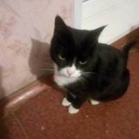 Найдет кот, окрас черно-белый
