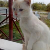 Найден котенок, окрас белый с рыжицой