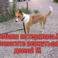 Пропала собака, окрас коричнево-белый