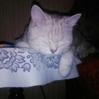 Найден кот, окрас светло-серый