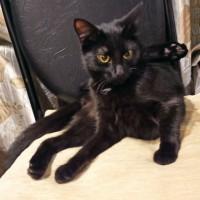 Пропала кошка, окрас черно-дымчатый