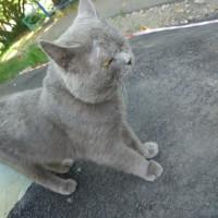 Найден кот, окрас дымчатый, в ошейнике
