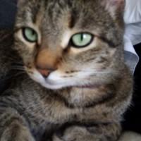 Потерян кот, окрас камышовый