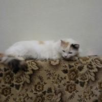 Пропала кошка, окрас трехцветный