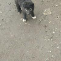 Пропал щенок, окрас черный с белыми пятнами