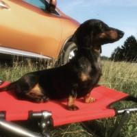 Потерялась собака, порода такса, окрас чёрный с рыжими пятнами