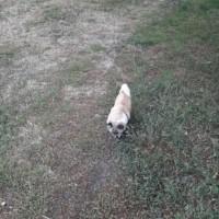 Найдена собака, окрас бежево-белый