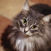 В добрые руки, кошка, окрас серый, пушистая