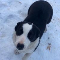 Пропала собака, окрас черно-белый