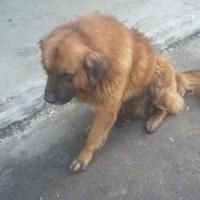 Найден пёс, окрас рыжий