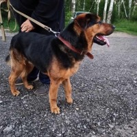Найден пёс, окрас черно-рыжий