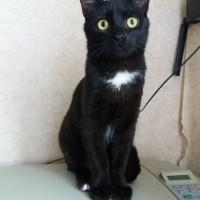 В добрые руки, кот, окрас черный с белым пятнышком