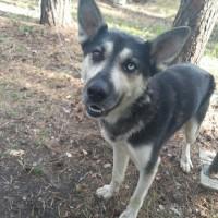 Найден пес, окрас черно-коричневый, глаза разного цвета