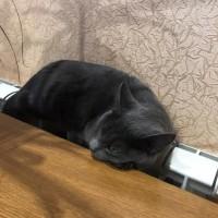 Пропала кошка, окрас дымчатый с голубым отливом