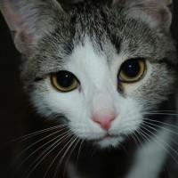 В добрые руки, котенок, окрас серо-белый