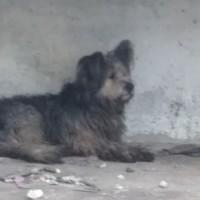 В добрые руки, пес, окрас серо-коричневый