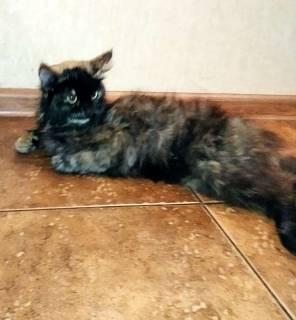Найдена кошка, окрас черепаший