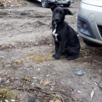 Найден щенок, окрас черный с белой грудкой