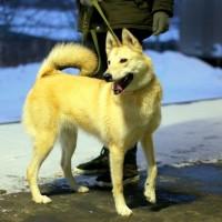 В добрые руки, собака, фенотип западно-сибирской лайки