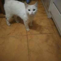 Найдена кошка, окрас белый